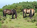 Exmoor ponies on North Hill - geograph.org.uk - 1719515.jpg