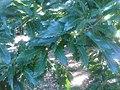 Fagales - Quercus robur - 010.jpg