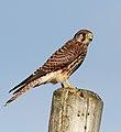 Falco tinnunculus Cudyll Coch.jpg
