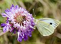 Farfalla su fiore 2.jpg