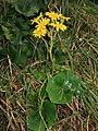 Farfugium japonicum 3.JPG