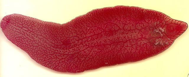 Motolica pečeňová - ploský 2 - 3 cm veľký parazit napádajúci pečeň cicavcov (aj človeka)