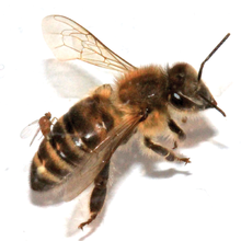 Female Apocephalus borealis ovipositing into the abdomen of a worker honey bee.png