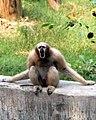 Female Hoolock Gibbon.jpg
