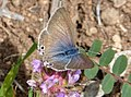 Female Long-tailed Blue. Lampides boeticus (31966803250).jpg