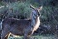 Female waterbuck (10901908885).jpg
