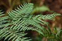 Ferns in the New Forest (1250985294).jpg