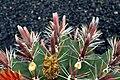 Ferocactus Townsendianus in Jardin de Cactus on Lanzarote, June 2013 (5).jpg
