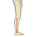 Fibula - lateral view.png