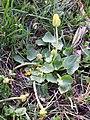 Ficaria calthifolia sl15.jpg
