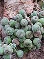 Ficus auriculata 113.jpg