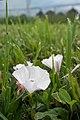 Field Bindweed (Convolvulus arvensis) - Guelph, Ontario 2013-07-10 (02).jpg