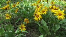 File:Field of Spring Okanagan Sunflowers (Balsamorhiza sagittata) in East Knox Mountain Park.webm