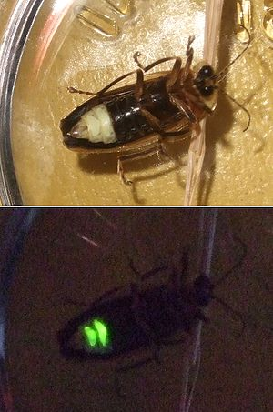 Firefly - Firefly (species unknown) captured in eastern Canada – the top picture is taken with a flash, the bottom with only the self-emitted light