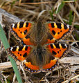 First Butterflies of Spring 1 (7006202759).jpg