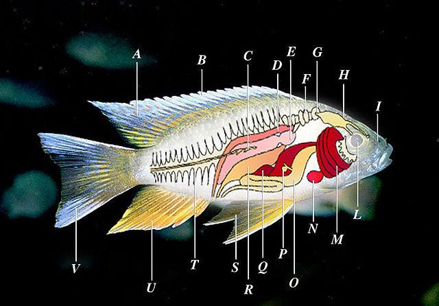 Pesce wikipedia for Pesci per laghetti esterni