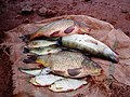 Fish for the table, Moroccan life.jpg