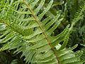 Fishbone fern (3125057762).jpg