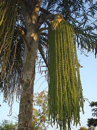 Caryota - Image: Fishtail palm 1