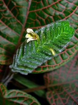 Fittonia albivenis 003
