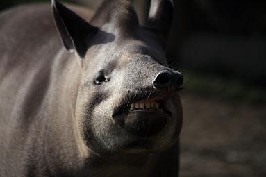 Flachlandtapir (Tapirus terrestris) Zoo Salzburg 2014 b.jpg