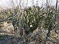 Flail-cut hedge (geograph 4376808).jpg