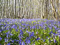Flexham coppice bluebells.JPG