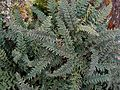 Flickr - brewbooks - To be Identified Fern (1).jpg