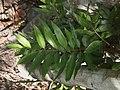 Flindersia australis leaf.jpg