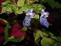 Floracion de un colio (19887890664).jpg
