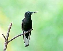 Black jacobin