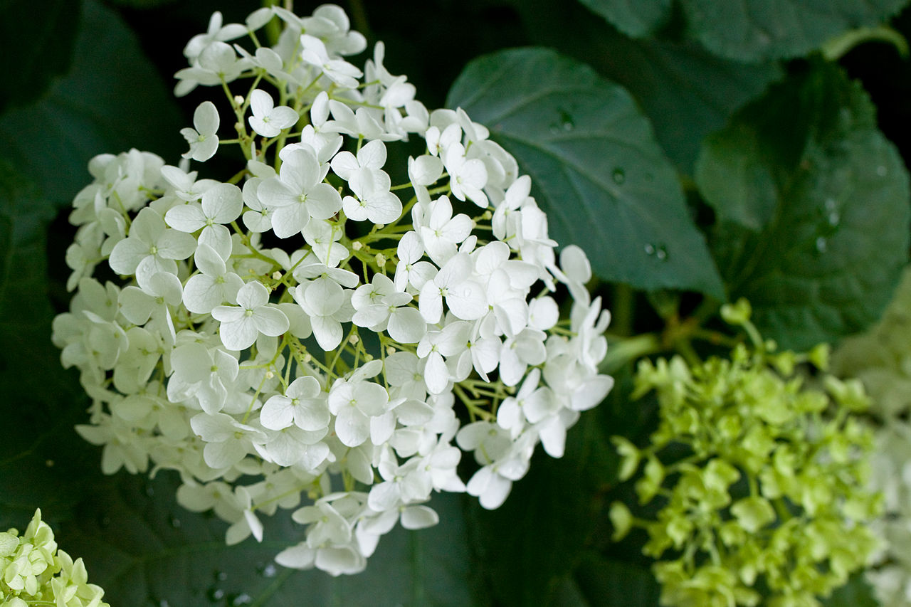 "File Flower Hydrangea ""Annabelle"" Flickr nekonomania 1"
