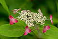 "Flower, Hydrangea ""Kurenai-YamaAjisai"" - Flickr - nekonomania (3).jpg"