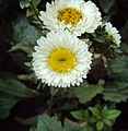 Flowers - Uncategorised Garden plants 69.JPG