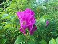 Flowers 27 June 2010 (13).JPG