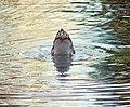 Ford Park, Diving Duck, Redlands, CA 8-12 (7796528628).jpg
