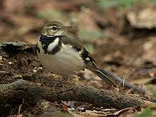 Forest Wagtail 4024 cropped.jpg