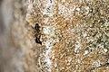 Formicidae (27094777268).jpg