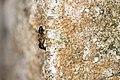 Formicidae (39156715020).jpg