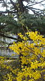 Forsythia of Beijing Botanical Garden.JPG