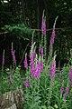 Foxgloves - geograph.org.uk - 1364466.jpg