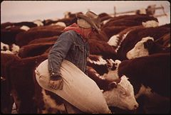 Frank Starbuck, Last of the Old Time Ranchers near Fairview Manages a Spread of 1300 Acres and 400 Head of Cattle. He Does It Alone Because It Is Too Difficult and Expensive to Get Help, 10-1972 (3815846410).jpg