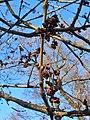 Fraxinus excelsior Jesion wyniosły 2020-04-19 03.jpg