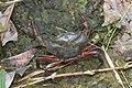 Fresh Water Crab (Pseudothelphusidae) (23984514640).jpg