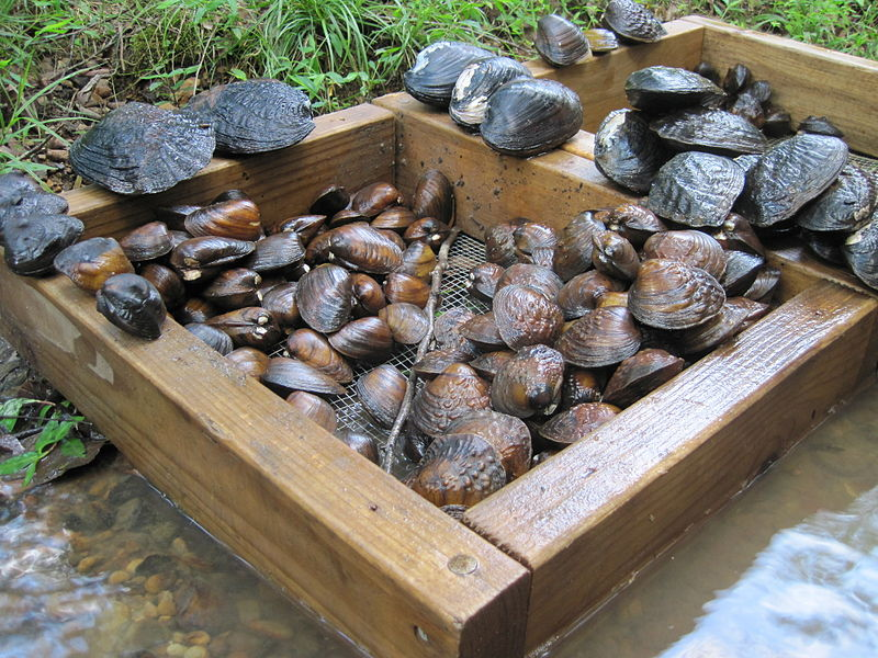 File:Freshwater mussel catch on Bull Mountain Creek.JPG