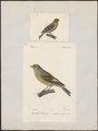 Fringilla citrinella - 1700-1880 - Print - Iconographia Zoologica - Special Collections University of Amsterdam - UBA01 IZ16000041.tif