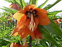 Fritillaria imperialis 'Crown Imperial' (Liliaceae) flower