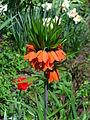 Fritillaria imperialis 01.JPG