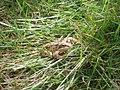 Frog. - geograph.org.uk - 456669.jpg
