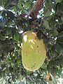 Fruit du jacquier.jpg